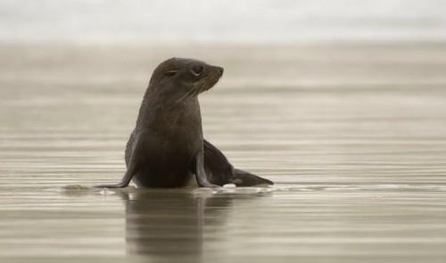 Anjing laut menjadi korban kekejaman manusia di Selandia Baru.