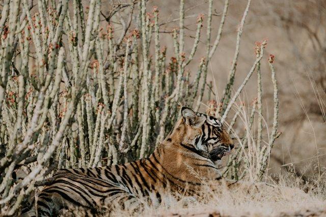 Banyak pelancong yang datang jauh-jauh ke India, untuk melihat Harimau secara langsung di habitat aslinya. Berikut rekomendasi kami. (Foto: Annie Spratt/Unsplash.com)