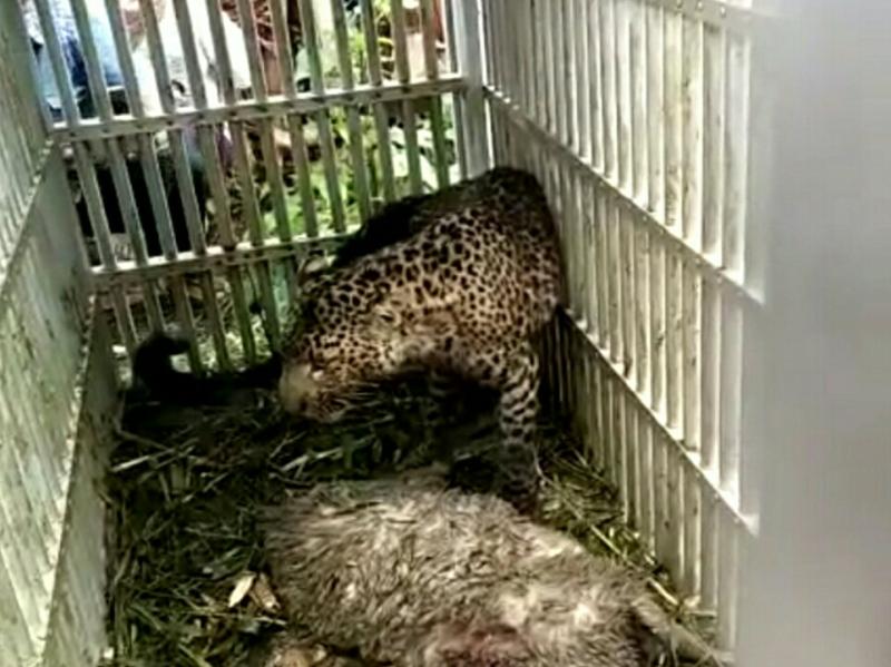 Macan tutul yang tertangkap