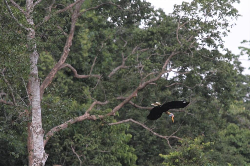 Seekor Julang Sulawesi (Aceros cassidix) atau burung rangkong terbang di antara pepohonan di kawasan hutan lindung Gunung Wolasi, Konawe Selatan, Sulawesi Tenggara, ANT/Jojon.