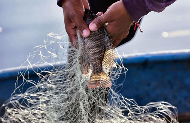 Kulit Ikan Tilapia berguna menyembuhkan luka bakar (Foto: AFP/YUSSEL GONZALEZ)
