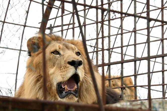 Seekor singa berada di sebuah kebun binatang di Albania. (Foto: AFP/GENT SHKULLAKU)