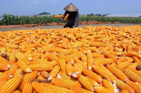 Pemerintah Tambah Impor Jagung 30 Ribu Ton