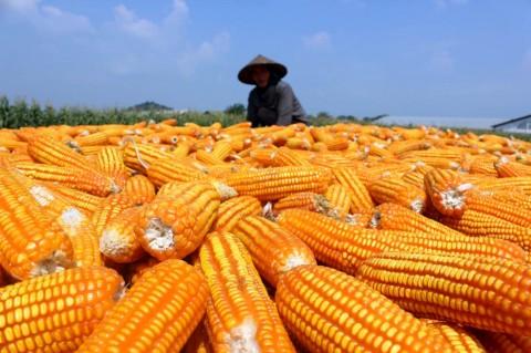 Bibit Jagung Pemerintah Tingkatkan Produksi Petani Bima