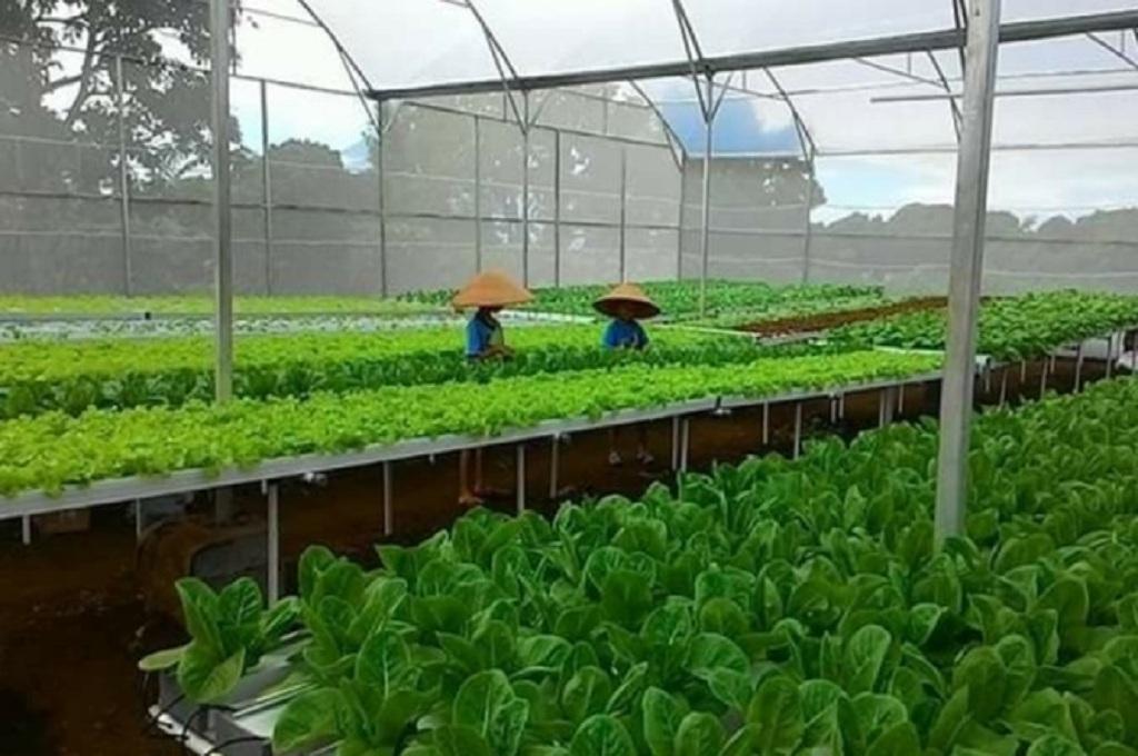 Pekerja tengah mengurusi tanaman di Farmhill yang ditanam dengan metode hidroponik di Semarang, Medcom.id - Budi Arista