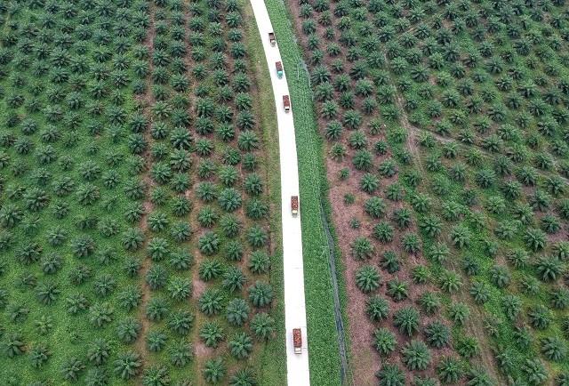 Pekerja mengangkut kelapa sawit yang dipanen dari kebun milik anggota Koperasi. (MI/Aries Munandar).