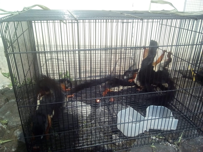 Sejumlah ekor burung Cendrawasih yang ditangkap dari hasil jual-beli. Medcom.id-Ahmad Mustaqim