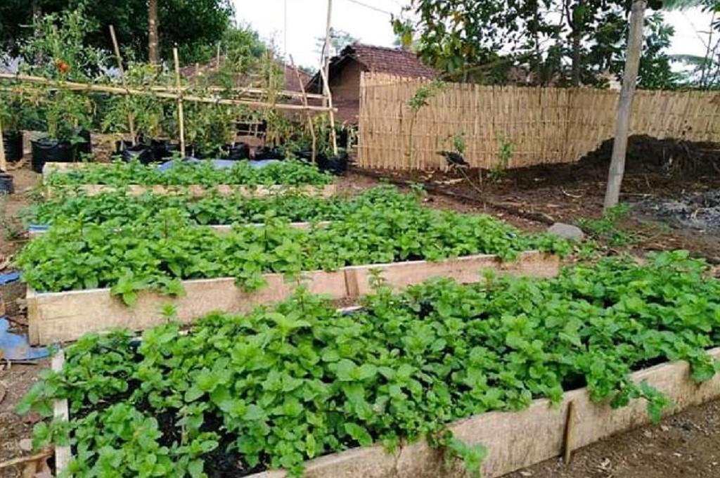 Lahan pertanian organik tumbuh subur di area bekas tumpukan kotoran sapi di Desa Banjaragung, Jepara, Medcom.id - Rhobi Shani