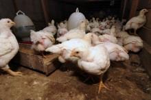 Menyejahterakan Buruh Tani dengan Beternak Ayam