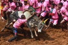 Dua Orang Tewas Diseruduk Banteng di Festival India