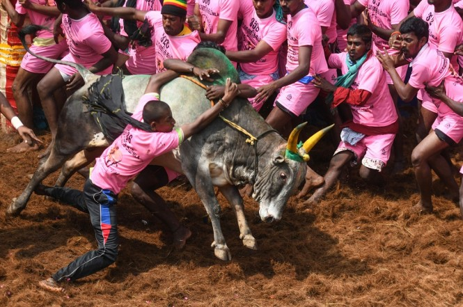 Sekelompok warga berusaha menundukkan seekor banteng dalam festival Jallikattu di Tamil Nadu, India, 17 Januari 2019. (Foto: AFP/ARUN SANKAR)