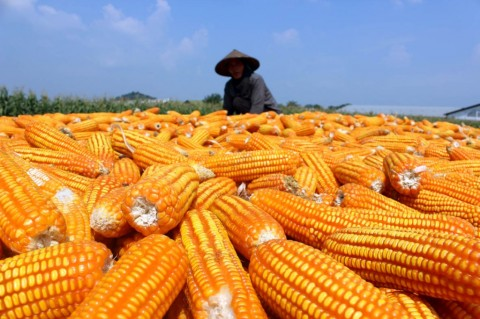 Menko Darmin Ungkap Alasan Impor Jagung di Musim Panen