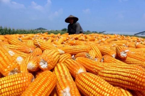 Pemerintah Tugaskan Bulog Serap Jagung Petani
