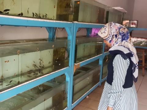 Musim DBD, Stok Ikan Cupang di Cirebon Menipis