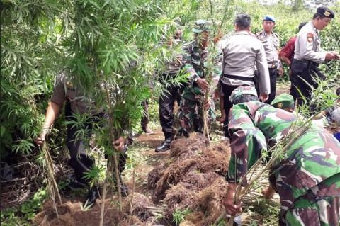 Polisi Temukan Ladang Ganja Siap Panen di Lahat