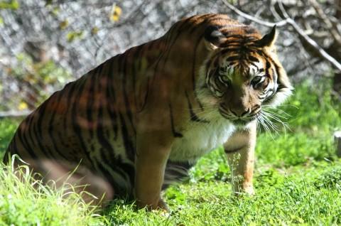 Harimau Sumatra Mati usai Berkelahi di Kebun Binatang London