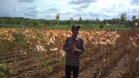 Kementan Minta Petani Yogyakarta Tingkatkan Produktivitas Jagung