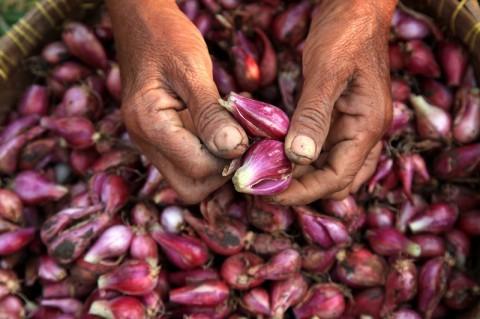 Kalbar Kembangkan 245 Hektare Bawang Merah