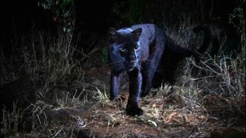 Macan Tutul Hitam Langka Tertangkap dalam Foto