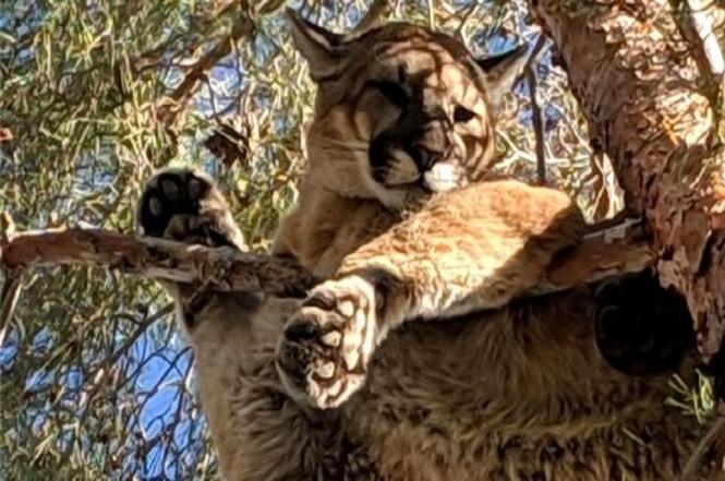 Seekor singa gunung diselamatkan dari atas pohon di sebuah properti di California, AS, 17 Februari 2019. (Foto: CALIFORNIA DEPARTMENT OF FISH AND WILDLIFE)