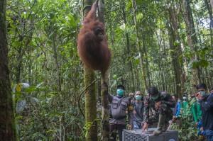 IAR Lepasliarkan Enam Orangutan di Melawi