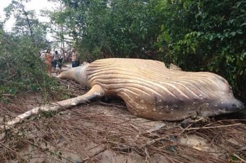 Ikan Paus Ditemukan Mati di Hutan, Ilmuwan Kebingungan