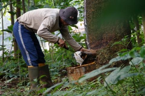 Peremajaan Kebun Karet Ditarget 50 Ribu Ha/Tahun