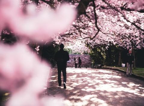 Tempat Terbaik Menikmati Keindahan Sakura