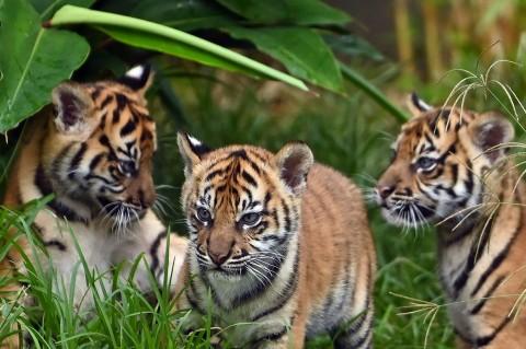 3 Anak Harimau Sumatera Lakukan Debut di Kebun Binatang Taronga