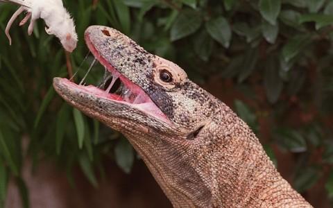 Pemerintah akan Pertahankan Habitat Komodo di NTT