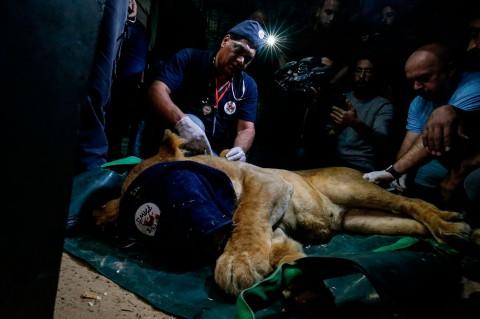 Tak Terurus, Puluhan Satwa Kebun Binatang di Gaza Dievakuasi
