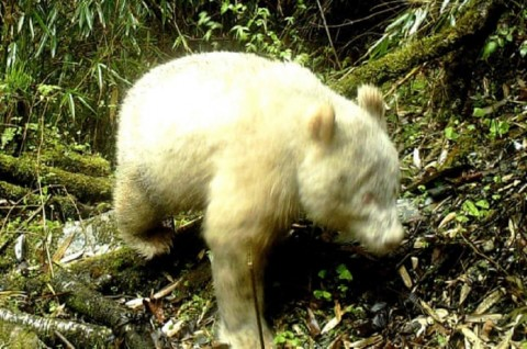 Panda Albino Langka Tertangkap Kamera di Tiongkok