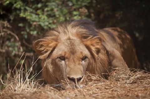14 Singa Kabur dari Taman Nasional Kruger Afrika