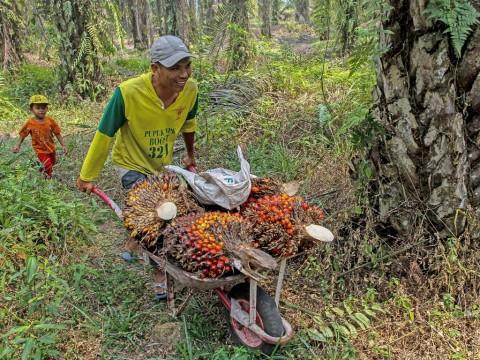 Pungutan Ekspor CPO Dinilai Menyengsarakan Petani Sawit