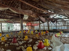 Pihak Terkait di Jatim Berupaya Stabilkan Harga Ayam