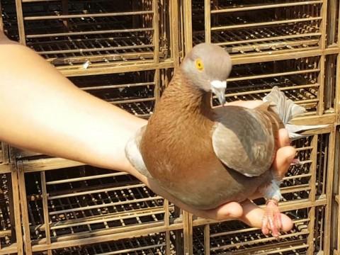 Jayabaya, the Rp1 Billion Pigeon