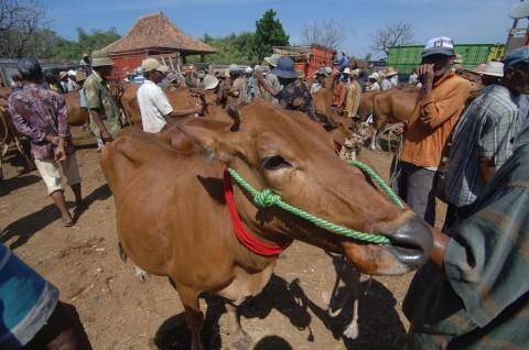 Tanah Datar Siapkan Sapi Kurban Untuk Jokowi