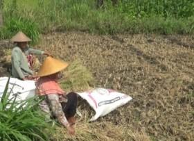 BNPB Catat 20 Ribu Hektare Lahan Berpotensi Gagal Panen