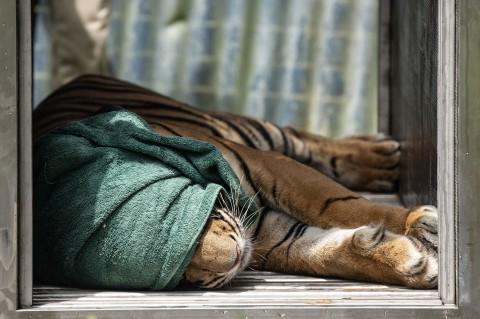 Sepasang Harimau Sumatera Dilepasliarkan di Riau