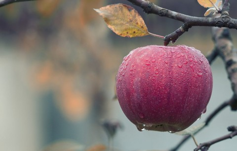Penelitian: Apel Organik Lebih Baik