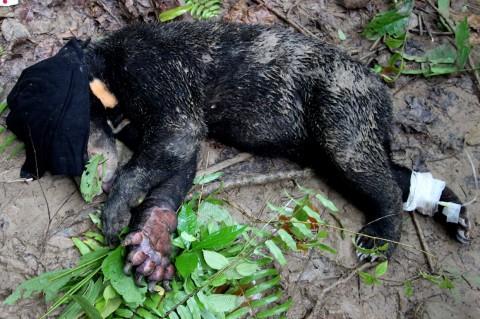 Kaki Beruang Madu Ini Terluka Kena Jerat Rusa