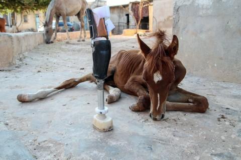 Saat Anak Kuda Mendapat Kaki Palsu