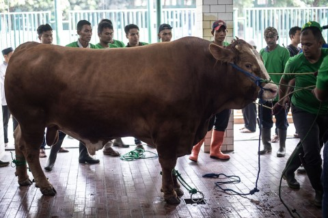 Ini Sapi-sapi Kurban Milik Jokowi yang Tersebar di Sejumlah Wilayah