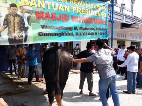 Drama Penyembelihan Sapi Kurban Presiden di Gunungkidul