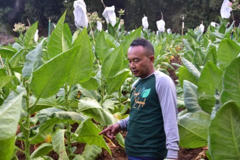 Pemerintah Diminta Berpihak pada Petani Tembakau