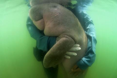 Bayi Ikan Duyung Mati dengan usus Penuh Sampah Plastik