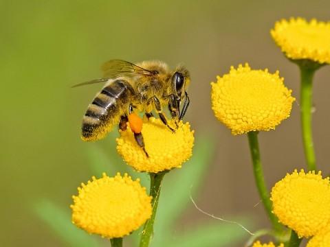 Apa yang Terjadi pada Bumi jika Lebah Madu Punah