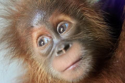 Warga Aceh Barat Daya Serahkan Orangutan kepada BKSDA