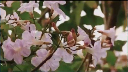 Jakarta Akan Tanam Bunga Tabebuya