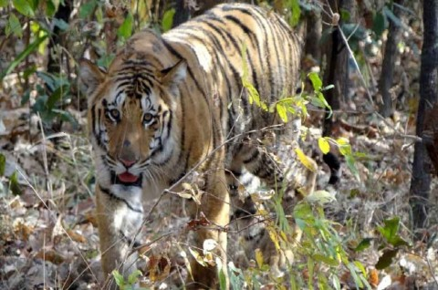Warga Tewas Diterkam Harimau di Indragiri Hilir
